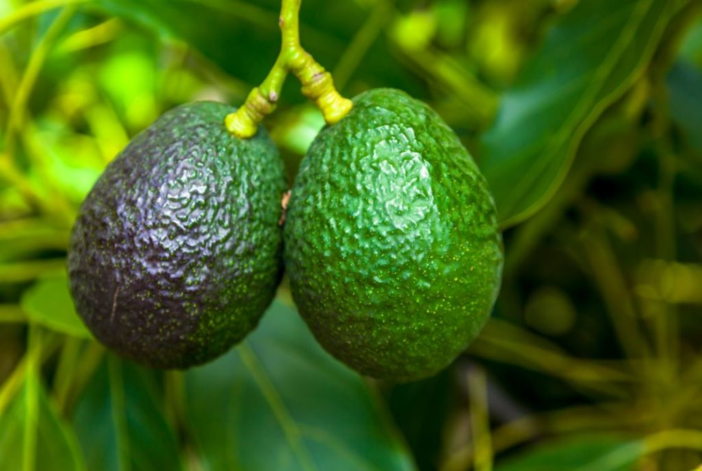 Increased Opportunities for Avocado Growers